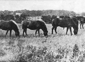 Pit ponies at Woodhall Colliery © Scottish Mining Museum